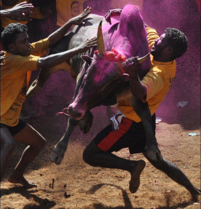 Bull_Taming,_Alanganallur,_India.jpg